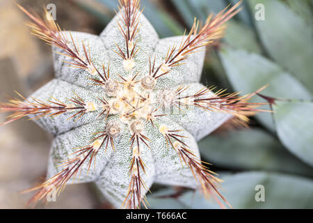 top view close up of a cactus with red prickles - Stock Photo