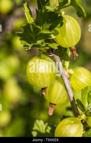 close up of some gooseberries shoot in summer - Stock Photo