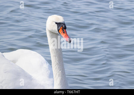 One beautiful white swan floats on the bay in Estonia - Image - Stock Photo