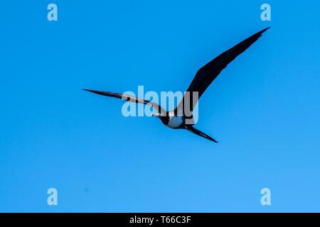 Adult female magnificent frigatebird (Fregata magnificens) in flight over Baja California Sur, Mexico. - Stock Photo