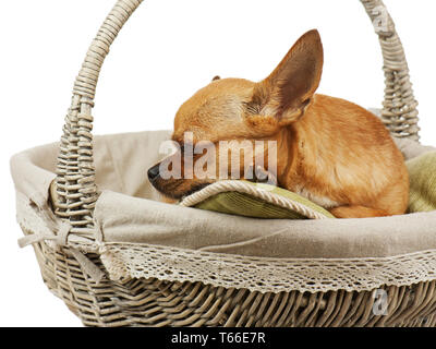Sleeping red chihuahua dog in wicker basket. Close - Stock Photo