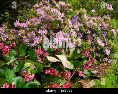 Bergenia 'Bressingham Salmon, shares a bed with the evergreen azalea, Rhododendron 'Koromo shikibu' in a spring garden - Stock Photo