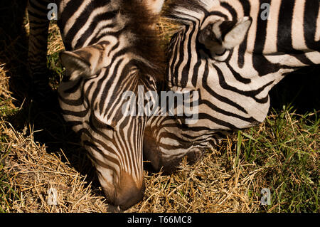 Zebra grazing at Taronga Western Plains Zoo, Dubbo, New South Wales, Australia - Stock Photo