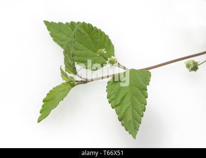 Aztec sweet herb, bushy lippia, Lippia dulcis, honeyherb [Lippia dulcis] - Stock Photo