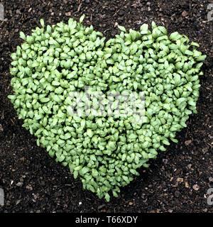 pepperwort or garden cress, Lepidium sativum - Stock Photo