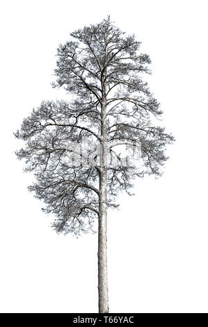 Dead alone dry death pine tree isolated on white background. Ecology concept - Stock Photo