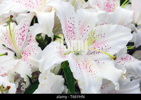 many Lily flowers in the garden close up view - Stock Photo