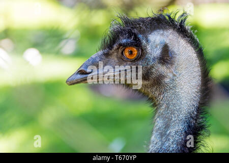 Close up of the head of an emu against a green background, Western Australia - Stock Photo