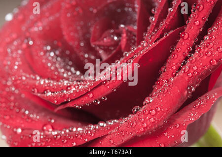 Red rose bud with water drops. Macro view - Stock Photo