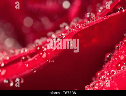 Dew drops on rose petal macro view. Elegance floral romantic background for Valentines or birthday