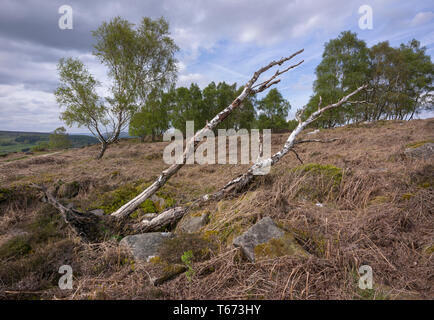 Fallen silver birch tree on moorland surrounded by dry bracken, with living trees in background - Stock Photo