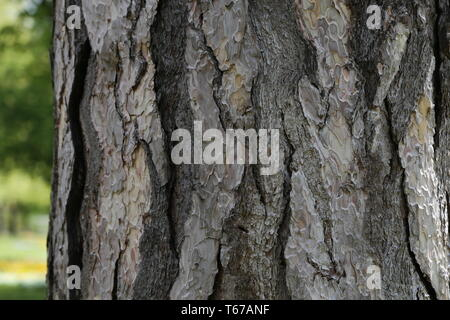 Close up view of bark of pinus negra tree, pinaceae family. The bark is grey to yellow-brown, and is widely split by flaking fissures into scaly plate - Stock Photo