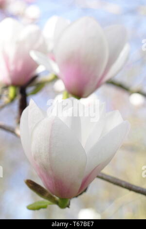 Magnolia 'Milky Way'. Pink flushed blooms of Magnolia Milky way in spring, UK. AGM - Stock Photo