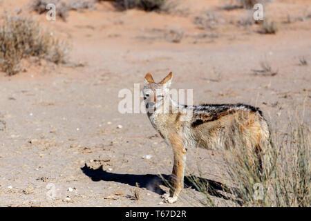 black-backed jackal (Canis mesomelas) - Stock Photo