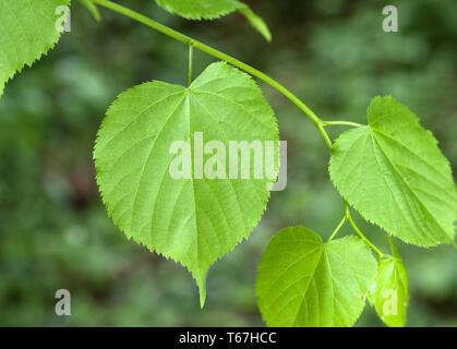 Largeleaf linden or broad leaved lime, Tilia platyphyllos - Stock Photo