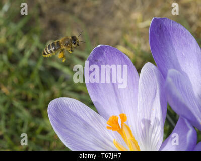 Crocus in early spring - Stock Photo