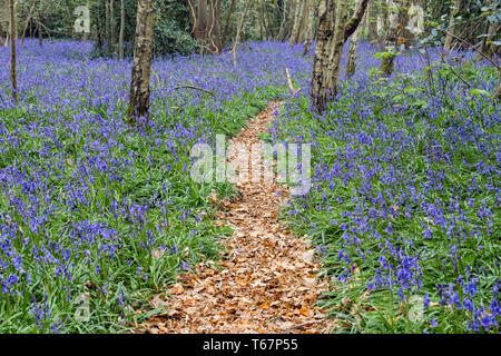 Leafy path through native English Bluebells growing in a deciduous Bluebell wood in spring. West Stoke, Chichester, West Sussex, England, UK, Britain