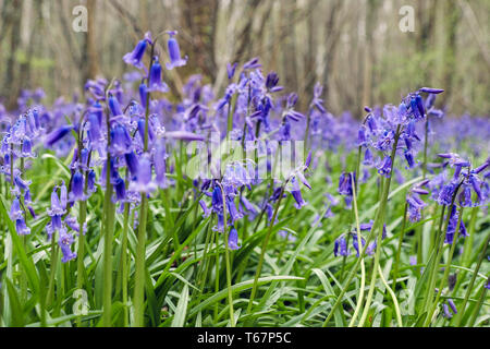 Native English Bluebells growing in a Bluebell wood in spring. West Stoke, Chichester, West Sussex, England, UK, Britain