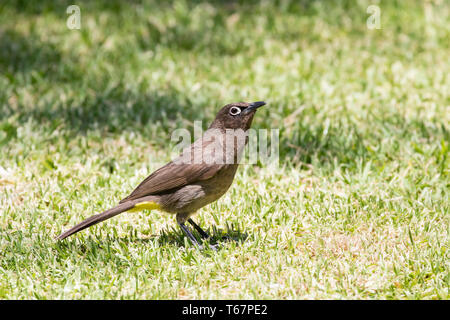 Cape Bulbul, Pycnonotus capensis,  standing on grass, side view, endemic to Western Cape, South Africa - Stock Photo