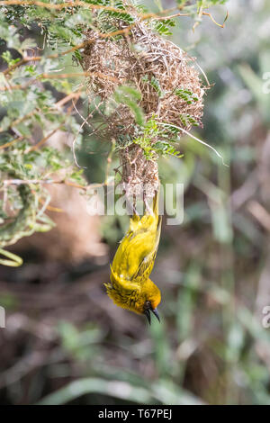 Male Cape Weaver (Ploceus capensis) in yellow breeding plumage hanging from below nest in acacia tree, Leidam, Montagu, Western Cape, South Africa - Stock Photo