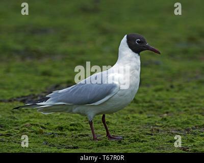 Black-headed gull in breeding plumage standing - Stock Photo