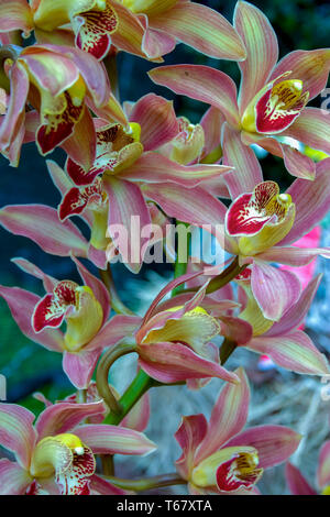 Close-up photography of a bouquet of red and yellow Dendrobium orchid flowers.  Captured at the Andean mountains of central Colombia. - Stock Photo
