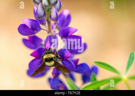 Macro photography of bumblebee feeding from a lupin flower. Captured at the Andean mountains of central Colombia.