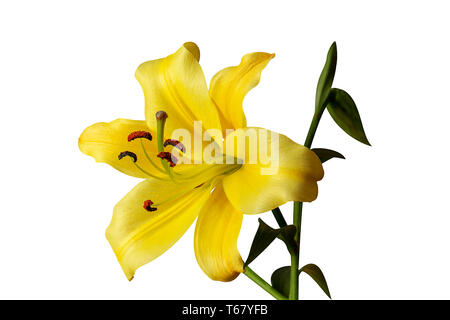 Pistil and stamens showing in yellow Lily flower. Isolated on white - image - Stock Photo