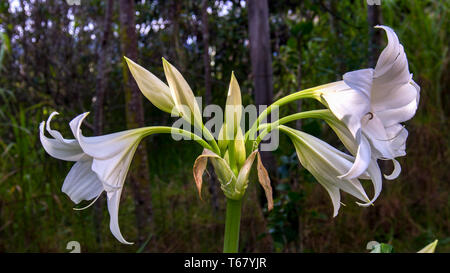 A bouquet of madonna lily flowers and buds. Photographed at the Andean mountains of central Colombia. - Stock Photo
