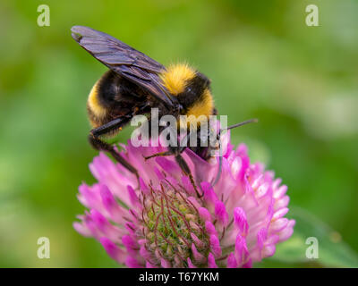Macro photography of a bumblebee feeding from a red clover flower. Captured at the Andean mountains of central Colombia.