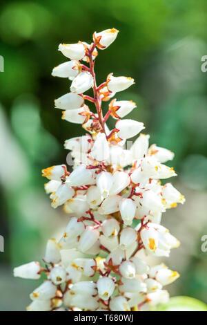 Erica carnea in bloom - Stock Photo
