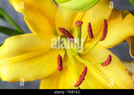 Pistil and stamens showing in yellow Lily flower. Part of the flower Yellow lily flower on white background - Stock Photo