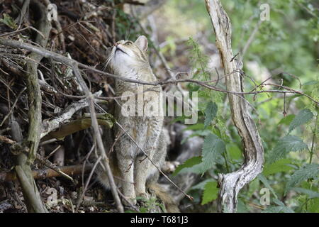 European Wild Cat, Felis silvestris, South Germany - Stock Photo