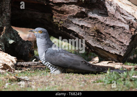 Cuckoo (Cuculus canorus) bird during Spring, Surrey, UK. British wildlife. - Stock Photo