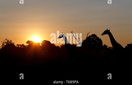 sunset and giraffes in silhouette in Africa - Stock Photo