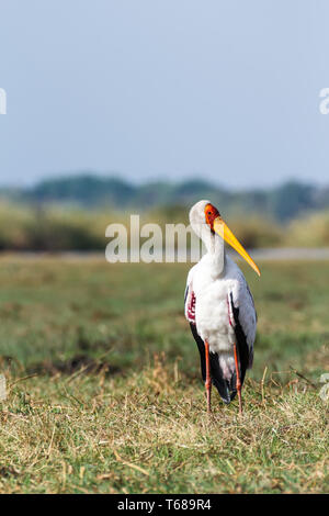 Yellow billed stork on the river Chobe - Stock Photo