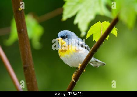 northern parula, Setophaga americana, male in spring time, Nova Scotia, Canada - Stock Photo
