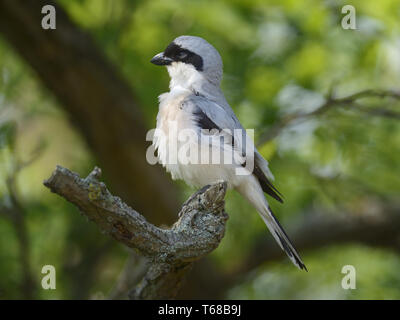 lesser grey shrike, Lanius minor, schwarzstirnwuerger - Stock Photo