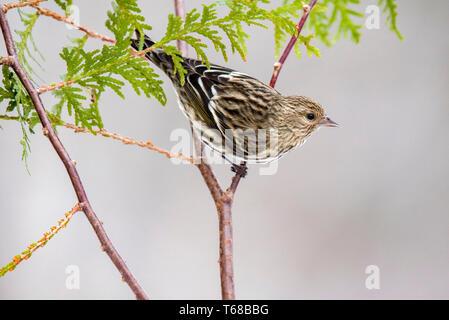 pine siskin, Spinus pinus, perched, cedar twig, winter, Nova Scotia, Canada - Stock Photo