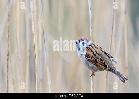 sparrow sits on a reed and looks up