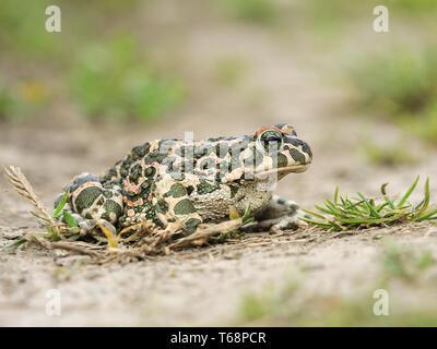European green toad, Pseudepidalea viridis, Bufo viridis, Bufotes viridis, East Europe - Stock Photo
