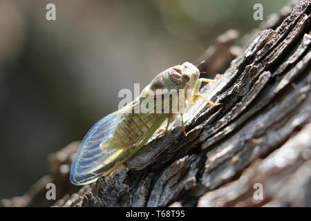 South of France - After several years underground, this cicada has emerged as a nymph and shed its skin - Climbing the nearest tree in the sunlight - Stock Photo