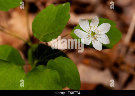 Rue Anemone in Land Between the Lakes - Stock Photo