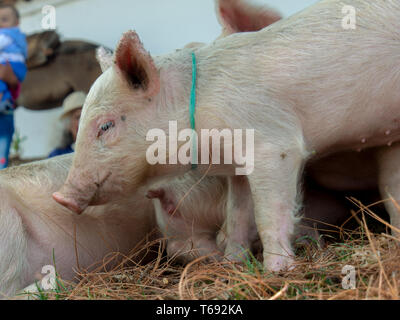 A piglet among his siblings at a traditional local marketplace of the colonial town of  Villa de Leyva, in the Andean mountains of central Colombia. - Stock Photo