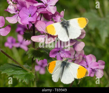 Orange Tip Butterfly - Anthocharis cardamines  Two Males on Honesty flowers - Lunaria annua - Stock Photo