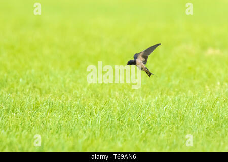 Barn Swallow Hirundo rustica in flight above farmland. This is the most widespread species and national bird of Estonia. - Stock Photo