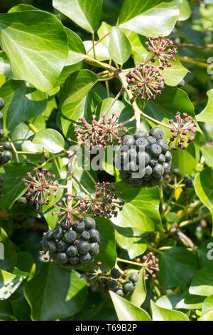 Ivy, Hedera helix, bunch of berries, fruit, April, Sussex, UK - Stock Photo