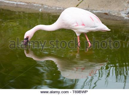Lesser Flamingo (Phoeniconaias minor) adult filter feeding. - Stock Photo
