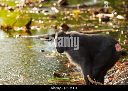 Celebes crested macaque, Sulawesi, Indonesia - Stock Photo