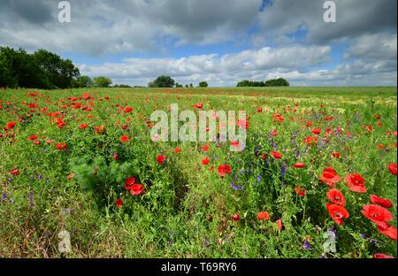 Scenic wild poppy field in full bloom. Hungary